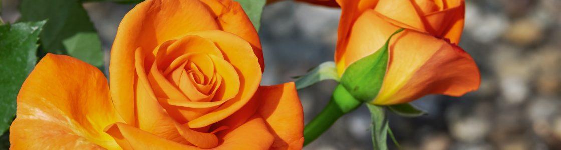 roses-3419108_1920