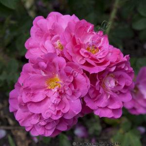 Цветение - обильное