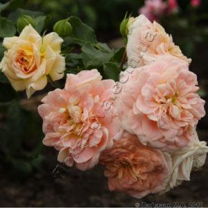 Цветение - повторноцветущая;
