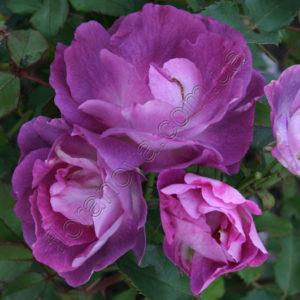 Цветение - обильное волнообразное;