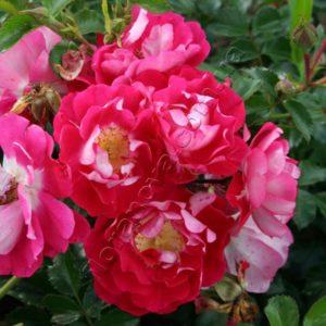 Цветение - волнообразное